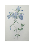 Phlox Reptans Poster by Pierre-Joseph Redoute