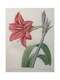 Amaryllis Posters by Pierre-Joseph Redoute