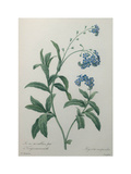 Forget-Me-Not Posters by Pierre-Joseph Redoute