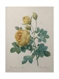 Yellow Sulphur Prints by Pierre-Joseph Redoute