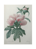 Chinese Peony Prints by Pierre-Joseph Redoute