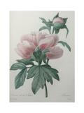 Chinese Peony Prints by Pierre-Joseph Redoute