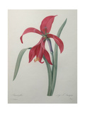 Amaryllis Poster by Pierre-Joseph Redoute