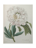 Official Peony Print by Pierre-Joseph Redoute