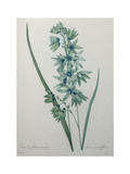 Green Wand Flower or Corn Lilly Posters by Pierre-Joseph Redoute