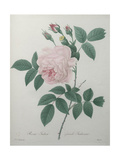Great Indian Rose Posters by Pierre-Joseph Redoute