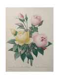 Indian or Rose of Bengal Prints by Pierre-Joseph Redoute