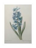Hyacinthus Orientalis Prints by Pierre-Joseph Redoute