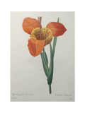 Tiger or Shell Flower Posters by Pierre-Joseph Redoute