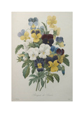 Bouquet of Pansies Prints by Pierre-Joseph Redoute