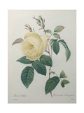 Yellow Rose of the Indies Prints by Pierre-Joseph Redoute