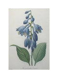 Blue Day Lillies Poster av Pierre-Joseph Redoute