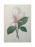 Magnolia Soulangiana Print by Pierre-Joseph Redoute