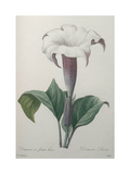 Climbing Angel Trumpet Prints by Pierre-Joseph Redoute