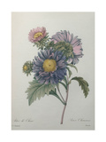 Chinese Aster Art by Pierre-Joseph Redoute