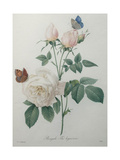 Bengal Rose Prints by Pierre-Joseph Redoute