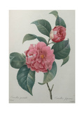 Japanese Camellia Prints by Pierre-Joseph Redoute
