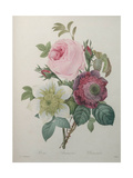 Rose, Anemone and Clematis Art by Pierre-Joseph Redoute