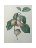 French Queen Plums Poster by Pierre-Joseph Redoute