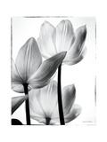 Translucent Tulips III Kunstdrucke von Debra Van Swearingen