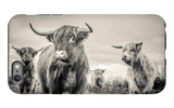 Highland Cattle iPhone 6 Plus Case by Mark Gemmell