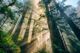 Divine Forest Light Coast Redwoods Del Norte California Photographic Print by Vincent James
