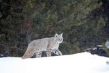 A Bobcat, Lynx Rufus, Walking in a Snow Shower Stampa fotografica di Robbie George