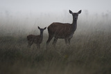 An Alert Red Deer Doe, Cervus Elaphus, and Her Fawn in Fog Photographic Print by Bertie Gregory