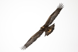 A Golden Eagle, Aquila Chrysaetos, Soars Through a Stark Sky Photographic Print by Robbie George