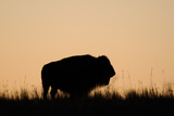 Silhouette of a Buffalo in a Pasture Photographic Print by Michael Forsberg