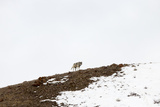 A Gray Wolf, Canis Lupus, in a Stark Winter Landscape with Snow Photographic Print by Robbie George