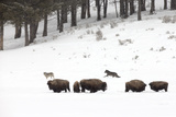 Two Gray Wolves, Canis Lupus, Near a Herd of American Bison, Bison Bison Photographic Print by Robbie George