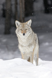 Portrait of a Coyote, Canis Latrans, in a Snowy Landscape Photographic Print by Robbie George