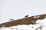 Two Gray Wolves, Canis Lupus, Walking Along a Partially Snowy Slope Photographic Print by Robbie George
