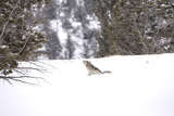 A Gray Wolf, Canis Lupus, Howling in a Snowy Landscape Photographic Print by Robbie George