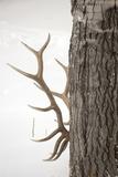 A Bull Elk, Cervus Elaphus, Rubbing His Antlers Against a Tree Trunk Stampa fotografica di Robbie George