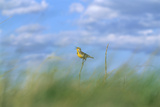 A Meadowlark Perches on a Yucca Plant Photographic Print by Michael Forsberg
