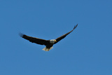 An American Bald Eagle Soars in the Blue Sky Photographic Print by Michael Forsberg