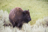 Portrait of a Bison in the Lamar Valley Photographic Print by Stacy Gold