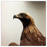 A Stuffed Eagle on Display in the Natural History Museum in Beijing, China Photographic Print by Sean Gallagher