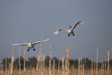 Two Tundra Swans, Cygnus Columbianus, Prepare to Land at the Water's Edge Photographic Print by Robbie George