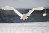 A Tundra Swan, Cygnus Columbianus, Takes Flight Off of a Icy Platform Photographic Print by Robbie George