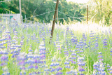 Roadside Lupine Wildflowers in Spring Photographic Print by Vincent James