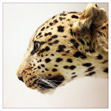 A Stuffed Leopard on Display in the Natural History Museum in Beijing, China Photographic Print by Sean Gallagher