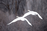 Two Tundra Swans, Cygnus Columbianus, Flying Through Wintry Skies Photographic Print by Robbie George