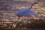 A Great Egret, Ardea Alba, Takes Flight in the Golden Light of Sunset Photographic Print by Robbie George