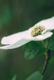 Dogwood Detail in Spring, Yosemite National Park Photographic Print by Vincent James