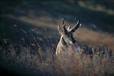 A Pronghorn Antelope Stands in a Field of Grass Photographic Print by Michael Forsberg