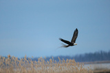 A Bald Eagle Flies over Invasive Phragmites While Gathering Brush for a Nest Photographic Print by Robbie George