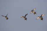 Northern Pintail Ducks, Anas Acuta, Taking Flight Photographic Print by Robbie George